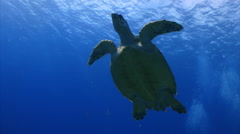 Sea turtle swims above  Stock Footage