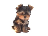 Yorkshire terrier puppy on white background. Stock Footage