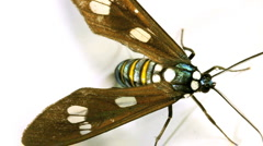 Clearwing moth (family ctenuchidae)  - stock footage