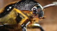 Female rhinoceros beetle Stock Footage