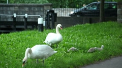 Two swans and cygnets are nibbling grass Stock Footage