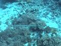 Cornetfish 1 Footage