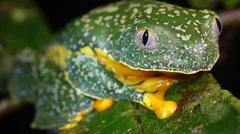 Stock Video Footage of Amazon leaf frog (Cruziohyla craspedopus)