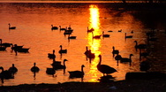 Stock Video Footage of Geese in Lake at Sunset
