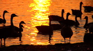 Stock Video Footage of Geese in Golden Sunset