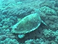 Giant Seaturtle 1 Footage
