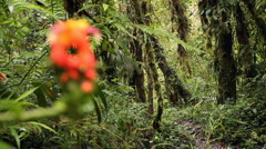 Cetrropogon flower with cloudforest background, pull focus Stock Footage