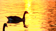 Geese Swimming Across Sunset Stock Footage