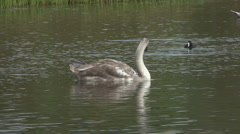 Cygnet floats on pond, Coot dives. - stock footage