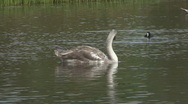 Stock Video Footage of Cygnet floats on pond, Coot dives.