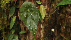Begonia leaves on the mossy trunk of a cloudforest tree Stock Footage