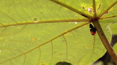 Leaf Hopper on the stem of an understory plant - stock footage
