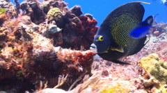 Coral reef French angelfish Stock Footage