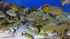 School of fish yellow grunt Stock Footage