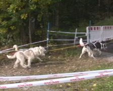 Dog Sledding Stock Footage