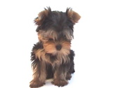 Stock Video Footage of Yorkshire terrier puppy on white background.