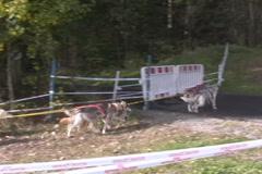 Dog Sledding Stock Footage
