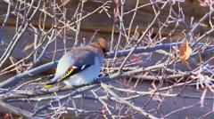 Bohemian waxwing (Bombycilla garrulus) - songbird passerine Stock Footage