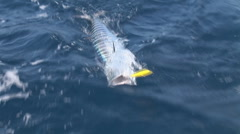 Wahoo Saltwater Fishing Stock Footage