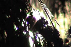 Sun Through Pine Needles Close Up Stock Footage