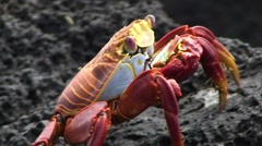 Galapagos Red Crab 8 Close Up (FULL HD 1080) Stock Footage