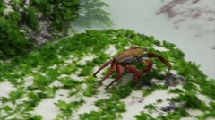 Galapagos Red Crab 5 (FULL HD 1080) Stock Footage