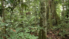 Walking to a buttressed rainforest tree Stock Footage