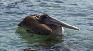 Galapagos Pelican 1 (FULL HD 1080) Stock Footage
