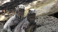 Galapagos Iguanas on Rocks 2 (FULL HD 1080) - stock footage