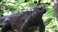 Galapagos Iguana In Forest (FULL HD 1080) Stock Footage