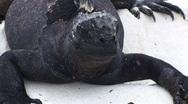 Galapagos Iguana Close Up Tongue (FULL HD 1080) Stock Footage