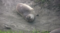 Elephant Seal Pup Stock Footage