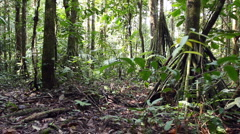Stilt root palms in the rainforest understory Stock Footage