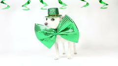 Irish Dog Pride Stock Footage