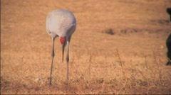Sandhill Cranes in Field  Stock Footage