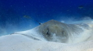 Stock Video Footage of Stingray feeding ocean marine life