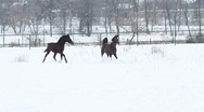 Horses playing in the snow stallions galope equestrian14 Stock Footage