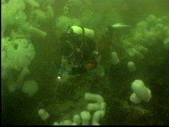 Drysuit scuba diver over Giant White-Plumed Anemone Stock Footage