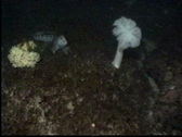 Stock Video Footage of wolf eel in deep water, 110' below surface
