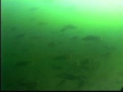 1991 salmon run, salmon in river, #5 mouth entrance to lake Stock Footage