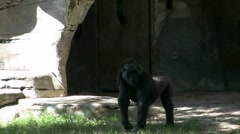 Mountain Gorilla At Zoo In Fort Worth Texas Stock Footage