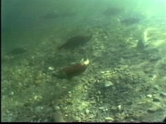 1991 salmon run, salmon in river, #4 mouth entrance to lake Stock Footage