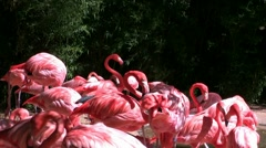 Pink Flamingos At Zoo In Fort Worth Texas Stock Footage