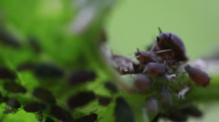 Macro ants aphid plant louse aphis bugs10 Stock Footage