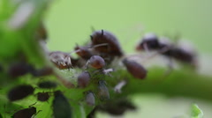 Macro ants aphid plant louse aphis bugs9 Stock Footage