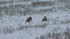 Brace of Grey Partridge in falling snow. Stock Footage
