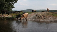 Water waves dark river background reflections cows3 Stock Footage