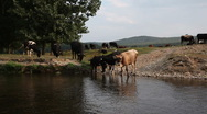 Water waves dark river background reflections cows4 Stock Footage