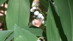 Lily of the valley (Convallaria majalis) flowers and leaves swaying in the wind  Stock Footage