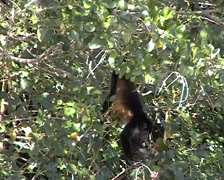 Howler monkeys on Rio Frio (Cold River) Stock Footage